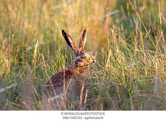 France, Lot, European hare Lepus capensis