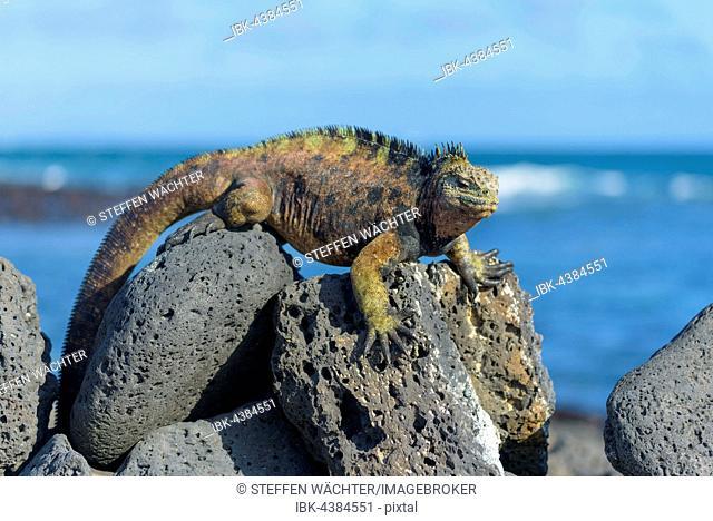 Galápagos marine iguana (Amblyrhynchus cristatus) sunbathing on rock, ocean behind, Tortuga Bay, Santa Cruz Island, Galapagos, Ecuador