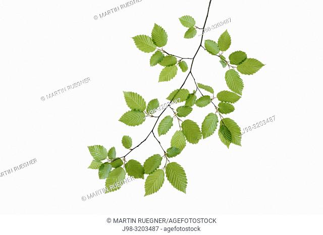 Branch of European Hornbeam (European Hornbeam / Carpinus betulus) with fresh foliage in spring, white background. Bavaria, Germany, Studio Shot