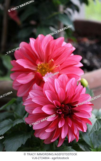 Close up of two hot pink Dahlia Hypnotica flowers in full bloom