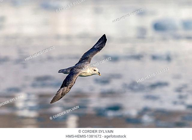 Norway, Svalbard, Spitsbergen, Northern Fulmar or Arctic Fulmar (Fulmarus glacialis) in flight