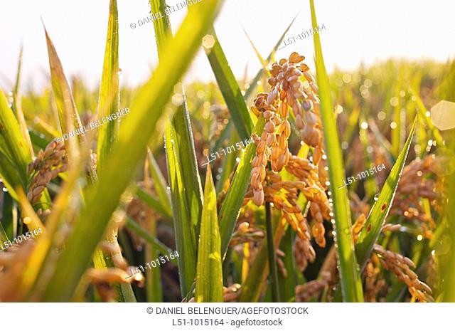 Rice field near Sueca, Valencia, Spain