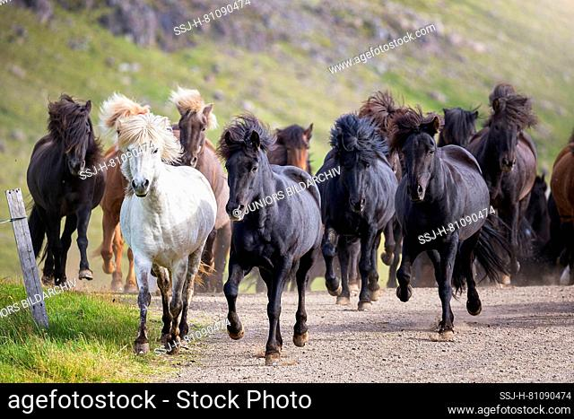 Icelandic Horse. Herd trotting on a path. Iceland