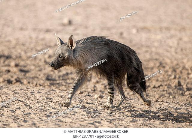 Brown hyena (Hyaena brunnea) running, Kgalagadi Transfrontier Park, Northern Cape, South Africa