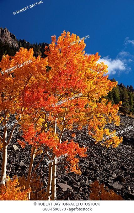 A blazing Aspen during autumn in the San Juan Mountains of Colorado