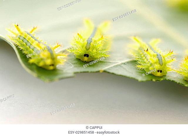 Row of caterpillar eating leaf