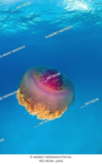 Cauliflower jellyfish (Cephea cephea) Indian Ocean, Maldives