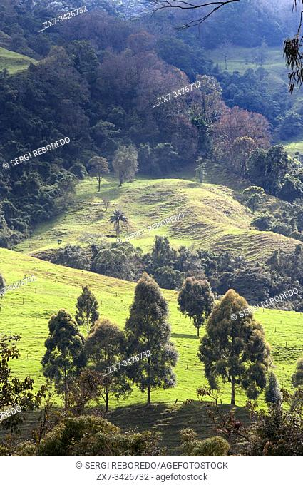 Landscape of Cocora Valley, Colombia. This valley is a valley in the department of Quindío in the country of Colombia. It is located in the Central Cordillera...