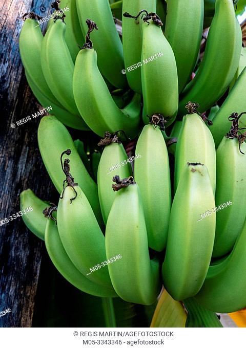 Green organic bananas growing in a private backyard in Darwin Australia