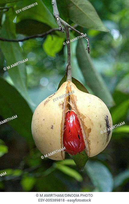 Spices ; mace jatipatri dried lacy red covering within fruit of nutmeg myristica fragrans ; Kerala ; India
