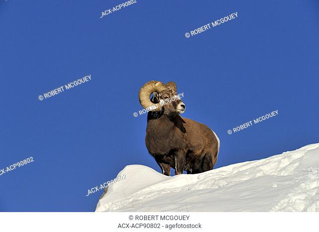 A bighorm ram, Orvis canadensis, on top of a snow covered ridge looking over his surroundings in the foothills of the rocky mountains of Alberta Canada