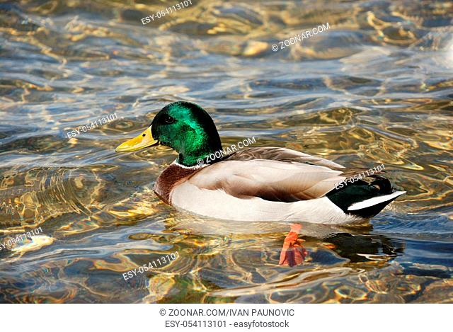 a male of wild duck in a water