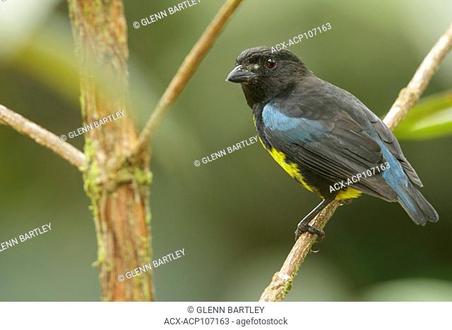 Black and Gold Tanager (Bangsia melanochlamys) perched on a branch in the mountains of Colombia, South America