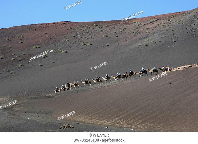 dromedary, one-humped camel Camelus dromedarius, Dromedary in the National park Timanfaya on Lanzarote, Canary Islands, Lanzarote, Timanfaya National Park
