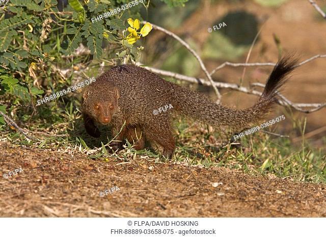 Sri Lanka Ruddy Mongoose