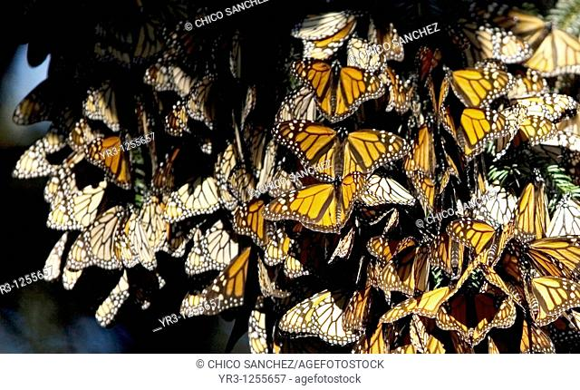 Monarch butterflies Danaus plexippus perch on a tree in El Rosario Sanctuary for monarch butterflies near Angangueo village in Mexico, Dec 25
