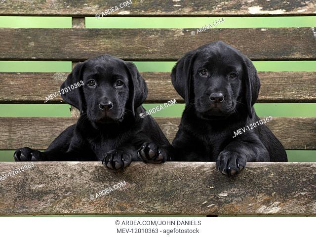 DOG. Black Labrador puppies x2 on garden bench 9 weeks old DOG. Black Labrador puppies x2 on garden bench 9 weeks old