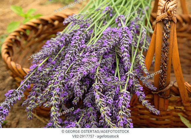 Lavender in basket, Mountainside Lavender, Washington County, Oregon