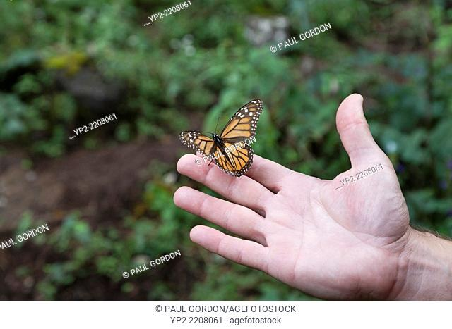 Monarch butterfly on a man's hand at the Monarch Butterfly Biosphere Reserve in Cerro Pelon - Donato Guerra, State of Mexico, Mexico