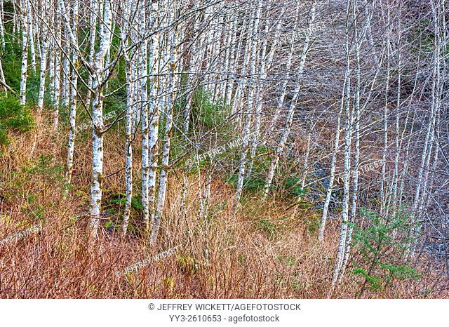 Bare red alder trees(Alnus rubra) in winter near Sitka, Alaska