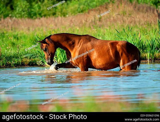 Beautiful arabian horse in sunrise in water near the forest, playing