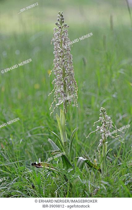 Lizard Orchid (Himantoglossum hircinum), Baden-Württemberg, Germany