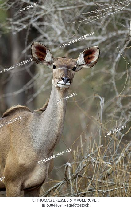 Greater Kudu (Tragelaphus strepsiceros), female, Kruger National Park, South Africa