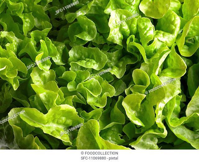 Lettuce full frame