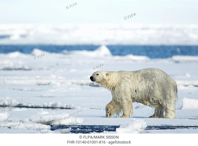 Polar Bear (Ursus maritimus) adult male, shaking water off coat after emerging from sea, standing on pack ice, Svalbard, July