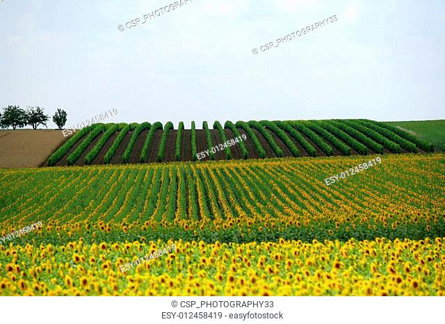 Wide shot of a sunflower field