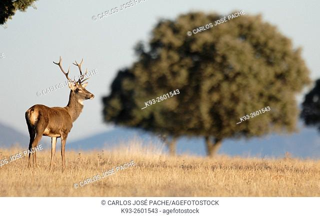 Red Deer (Cervus elaphus), Doñana National Park, Andalucia, Spain