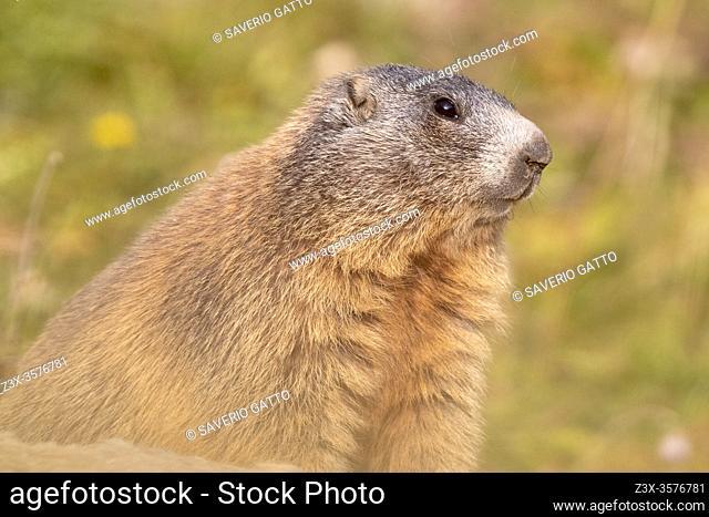 Alpine Marmot (Marmota marmota), close-up of an adult, Lombardia, Italy