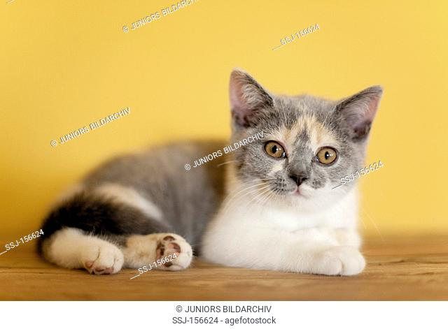 British Shorthair cat - kitten - lying
