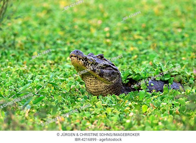 Yacare caiman (Caiman Yacare), adult, in water between aquatic plants, water lettuce (Pistia stratiotes), Pantanal, Mato Grosso, Brazil