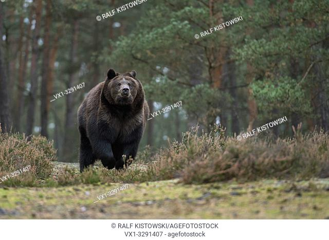 European Brown Bear / Braunbaer ( Ursus arctos ), strong and powerful adult, running fast over a clearing in boreal woods, coming near, frontal shot, Europe