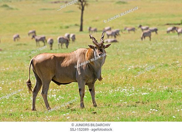 Common Eland / Taurotragus oryx