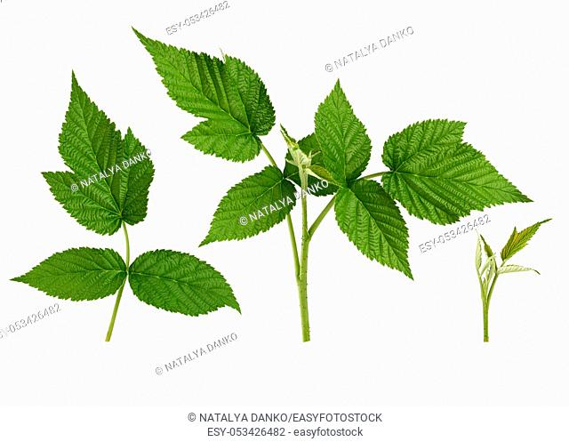 set of raspberry twig shoot branches with developing green leaves isolated on white background