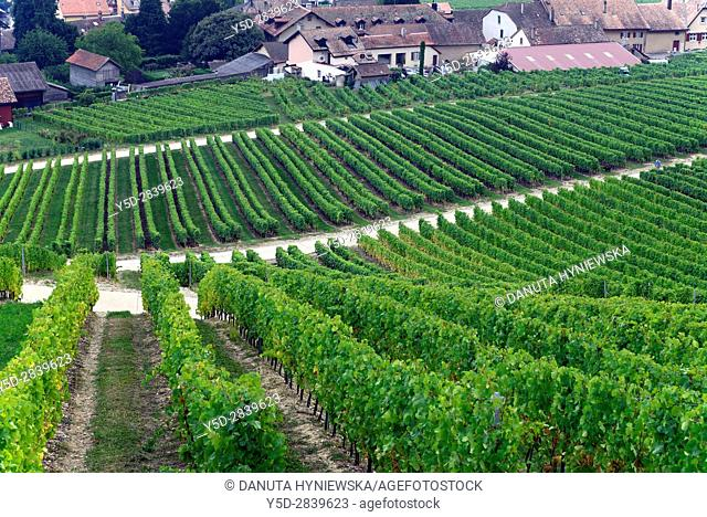 Europe, Switzerland, canton Vaud, La Côte, Nyon district, Mont-sur-Rolle, houses in vineyards in autumn