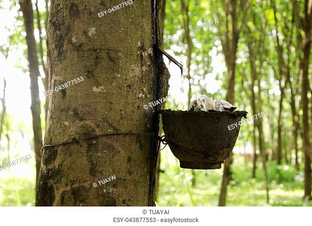 Plastic cup for rubber tapper latex from seringueira plant garden or rubber tree plantation at Ko Yao Noi in Phang Nga, Thailand