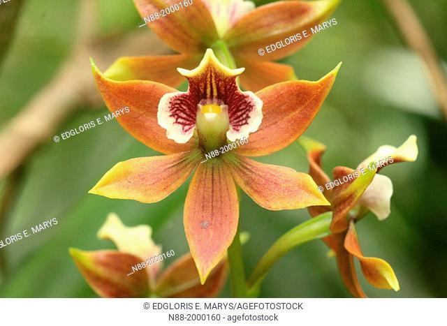 Wild orchid San Eusebio Cloud Forest Merida Venezuela