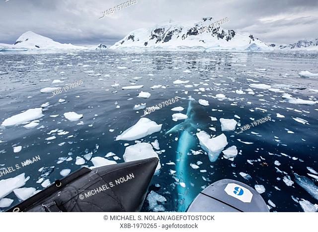 A curious Antarctic Minke whale (Balaenoptera bonaerensis) inspecting Zodiac in Paradise bay, Antarctica, Southern Ocean