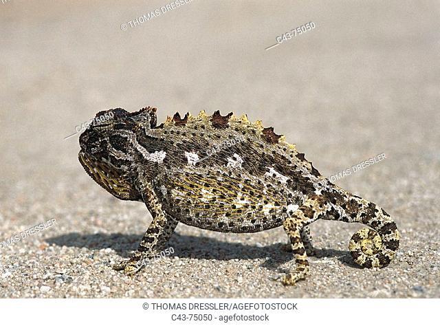 Namaqua Chameleon (Chamaeleo namaquensis). Namibia