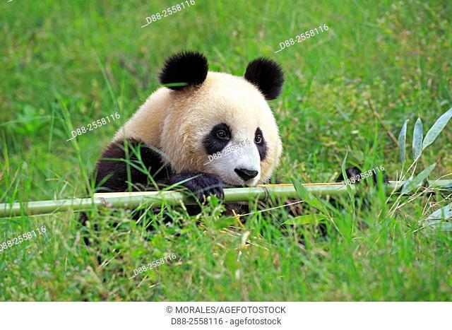 Asia, China, Sichuan, Research Base of Giant Panda Breeding or Chengdu Panda Base, Giant Panda Ailuropoda melanoleuca, captive,