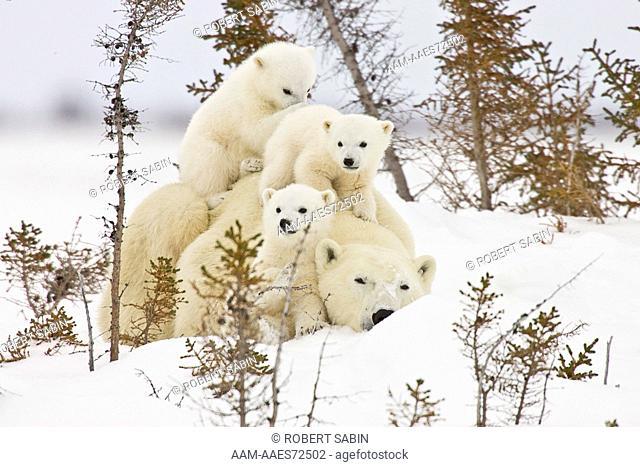 Polar Bears, Mothers and Babies, Manitoba, Canada