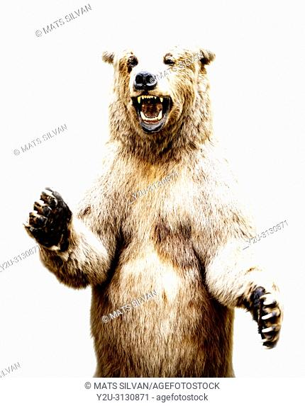 Grizzly Bear on White Background