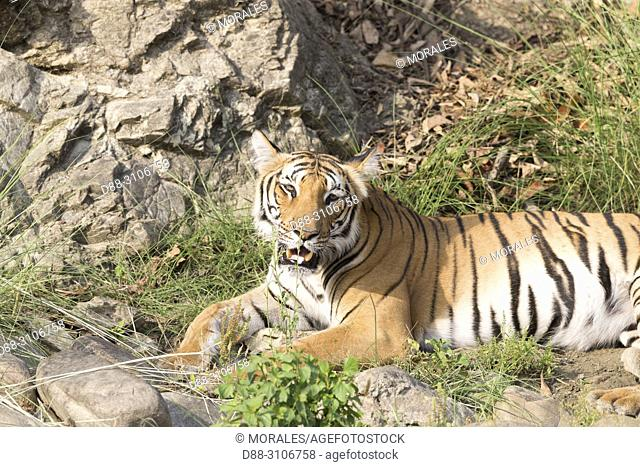 Asia, India, Uttarakhand, Jim Corbett National Park, Bengal tiger (Panthera tigris tigris), Resting near by a water hole