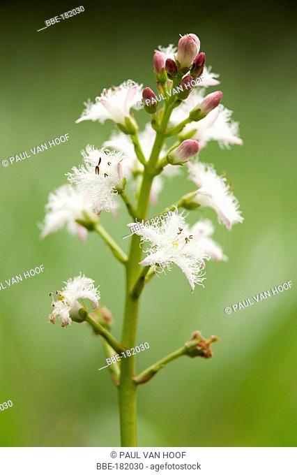 Flower of Bogbean