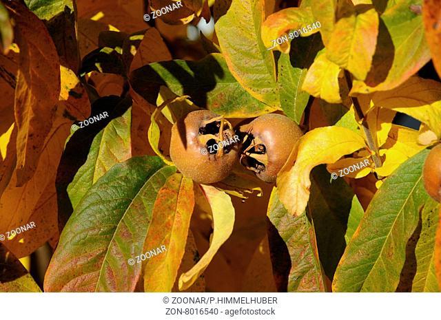 Mespilus germanica, Mispel, Medlar, fruchtend im Herbst