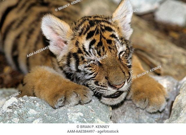 Bengal Tiger cub sleeping (Panthera tigris tigris) India, Endangered (USESA), CITES I, Endangered (IUCN)