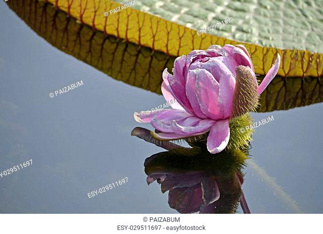 victoria waterlily with flower